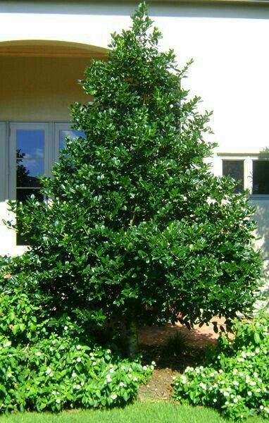 Nellie Stevens Holly   Beloved By Gardeners For Its Height And Its Ability  To Be Carefully Pruned Like A Boxwood Into Shapes. Highly Useful For  Screening.