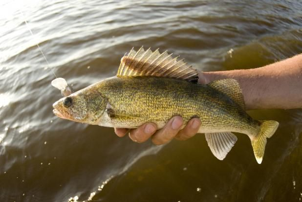 24 best images about fish species in healthy florida lakes for Florida fish species