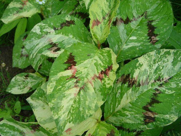 """Persicaria filiformis """"Painter's Palette"""""""