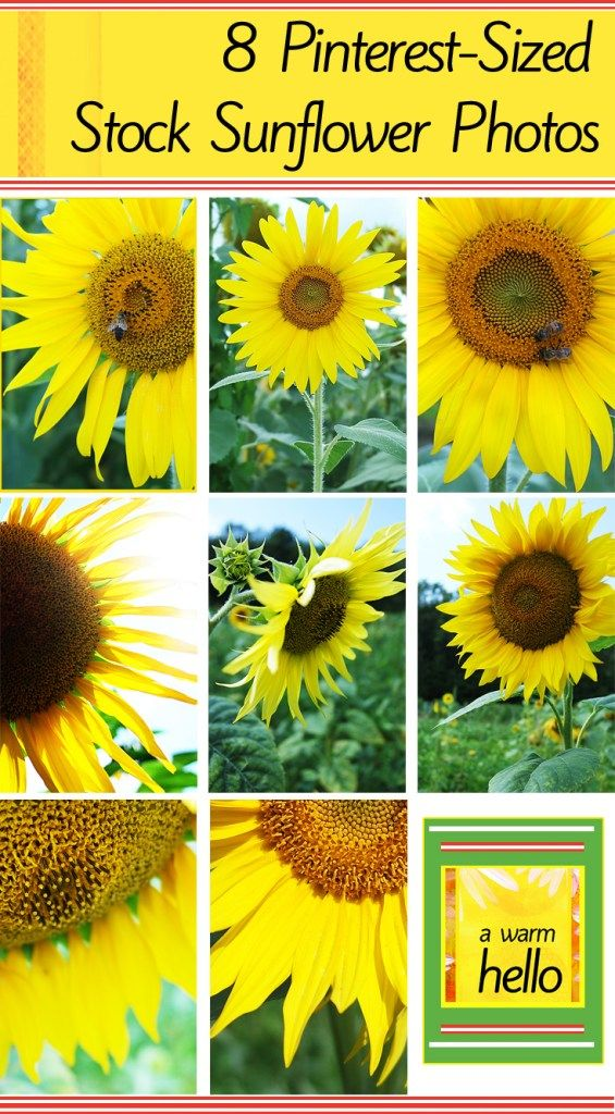 8 Stock Sunflower Photos for you to DOWNLOAD and USE on Your Own Blog OR for WHATEVER You Want!