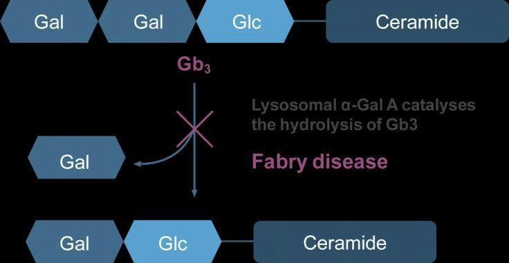 Lysosomal α-Gal A catalyses the hydrolysis of Gb3.5Patients with Fabry disease have a deficiency in (or absence of) this enzyme, resulting in accumulation of Gb3  Gal, galactose; α-Gal A, α-galactosidase A; Gb3, globotriaosylceramide; Glc, d-glucose Via Shire Pharmaceuticals  https://www.fabryawareness.com