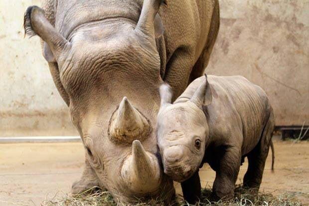 Rinoceronte e cucciolo