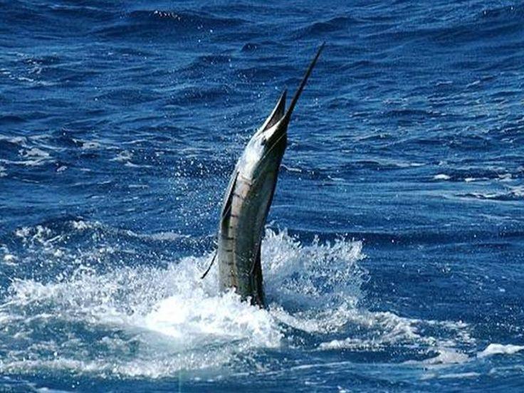 106 best caribbean fishing deep sea fishing images on for Deep sea fishing seattle
