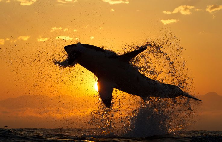 Great White Shark jumping during the sunset- we jump up high, but we have to come down eventually.  Do we bounce or do we collide?