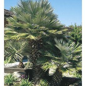 28.5 Gallon European Fan Palm (L9064) 00450
