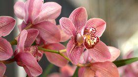 Orchideje jsou jedny z nejkrásnějších pokojových rostlin Foto: