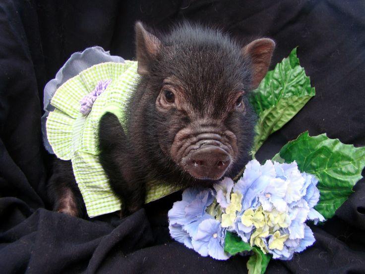 163 besten pigs bilder auf pinterest h ngebauch schweine kleine schweine und ferkel. Black Bedroom Furniture Sets. Home Design Ideas