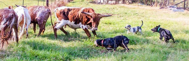 working catahoula breeder, catahoulas, working catahoulas, catahoul hog dog, catahoula cow dog, catahoula puppies