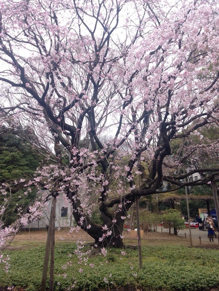Viewing Cherry Blossoms in Tokyo