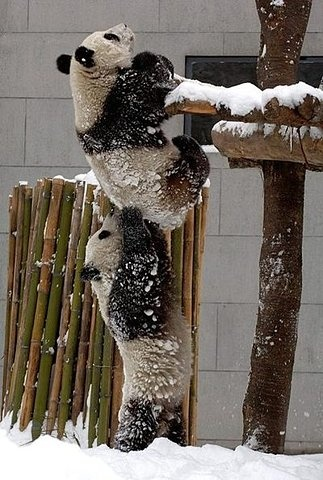you just have to help your brotha out.: Help Me, Baby Pandas, So Cute, Cute Pandas, Baby Animal, My Friends, Pandas Bears, Help Hands, Pandas Love