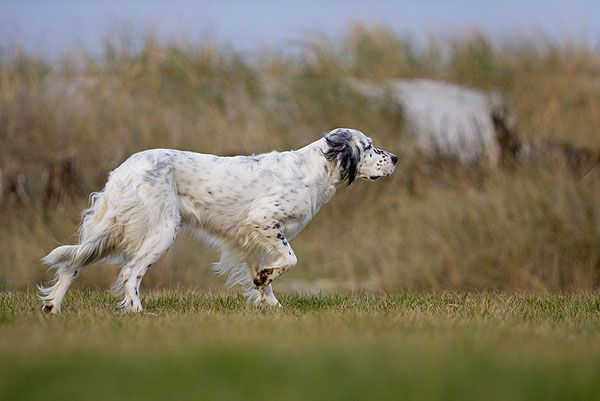 4 Golden Rules To Building A Relationship With Your English Setter: