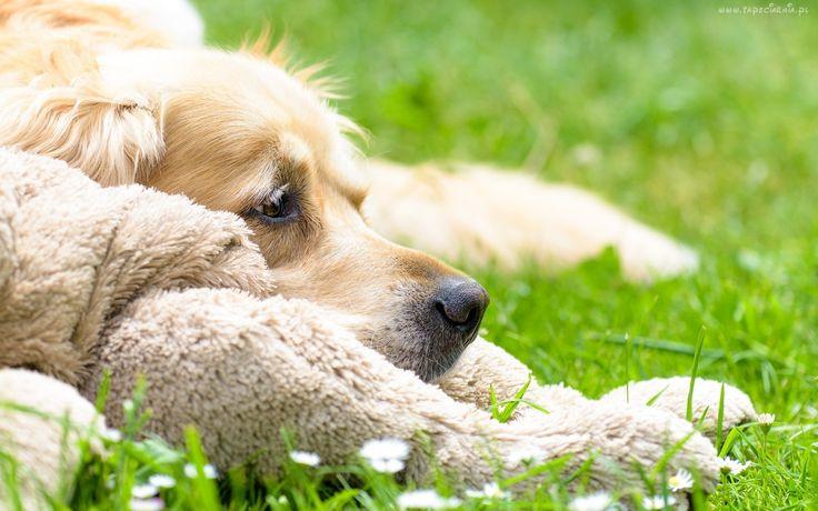 Pies, Łąka, Włochacz, Golden Retriever