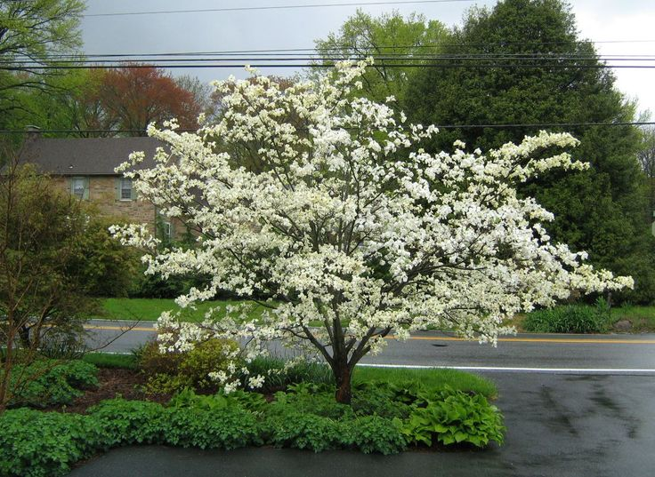Serviceberry S Brilliant White Flower Adds An Ethereal Look To Any Spring Garden Cers Of Berries