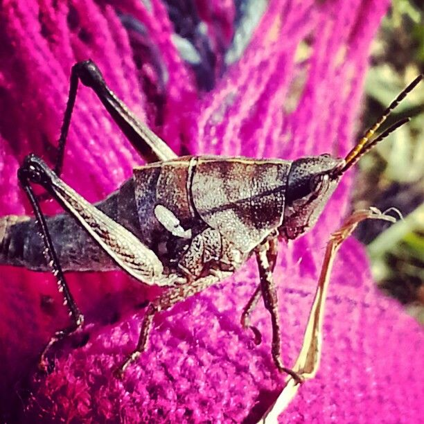#Chapulin #insect #insecto