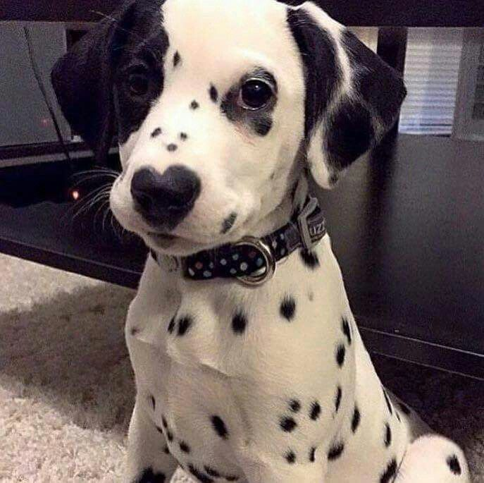 Dalmatian puppy with eye patch and heart-shaped nose.