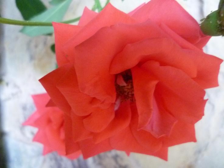 La siempre fragante rosa.