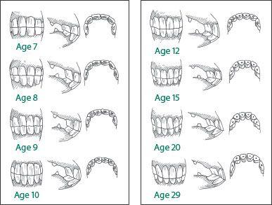 Www Horse Teeth Age Chart The Horse S Teeth Horse Care Deb S