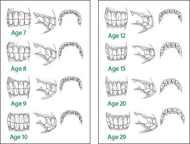 teeth age chart the horse 39 s teeth horse care. Black Bedroom Furniture Sets. Home Design Ideas