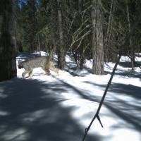 Usa, raro avvistamento di una lince tra le nevi del Colorado