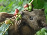 Poop, there it is: New test for exotic civet coffee