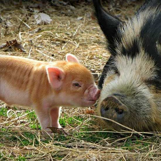 Learn about the beautiful heritage hog breed the KuneKune. - GRIT Magazine