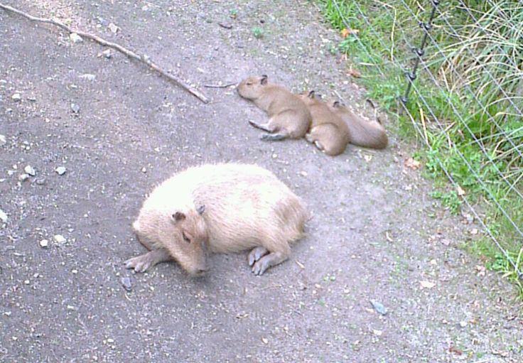 Capibara & young relaxing in Artis