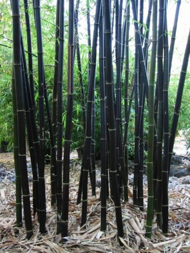 WILD-BLACK-BAMBOO-SEEDS-EXOTIC-PLANT-TALLEST-RARE