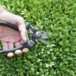 How And When To Prune Boxwoods