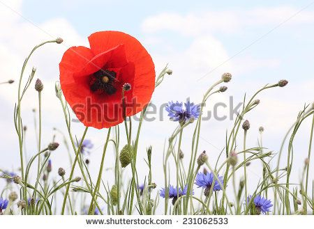 red poppy and bluebottle in light colors - stock photo
