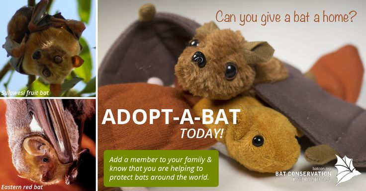 Can you give a bat a home? Adopt-a-bat this #Halloween from Bat Conservation International and know you are helping to protect bats around the world. #BatWeek