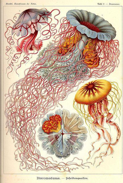 Kwallen. Mooi! | Kunst-Formen der Natur, by Ernst Haeckel, 1898 | #kwallen #kwal #tekening