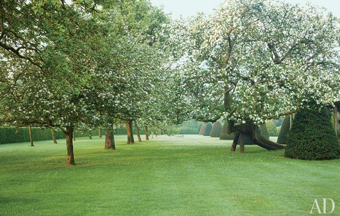 An apple and pear tree orchard with yews, in Belgium