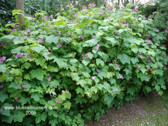 Rubus odoratus - Google Search