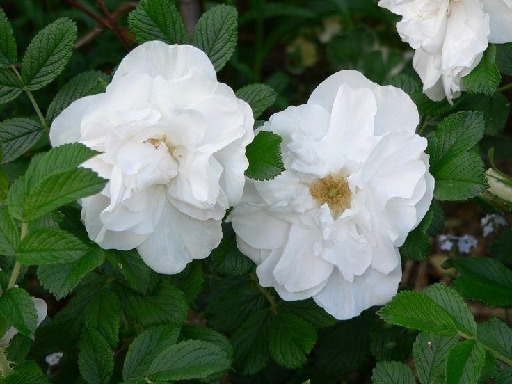 Rugosa 'Blanc de Coubert'