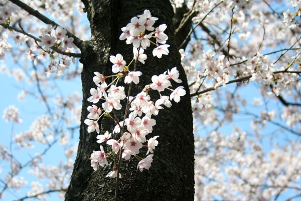 Sakura Trees Cherry Blossoms Are The Most Beloved