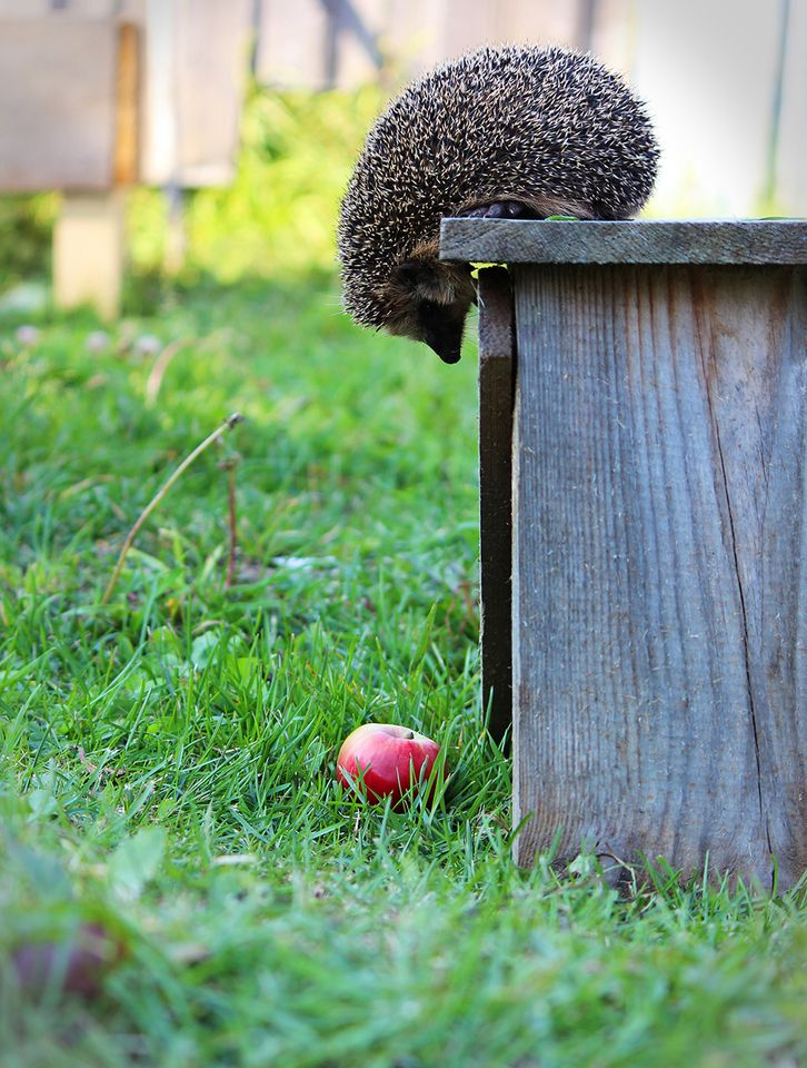 The moment before the hedgehog learned that there are times when the apple may not be worth it after all.
