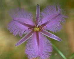 Australian Bush Flower Essence Remedy - Fringed Violet