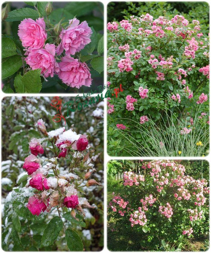 Pink Grootendorst różowe róże krzaczaste