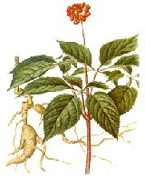 Asian Ginseng is one of the most highly regarded of herbal medicines in the Orient, where it has gained an almost magical reputation for being able to promote health, general body vigour, to prolong life and treat many ailments including depression, diabetes, fatigue, ageing, inflammations, internal degeneration, nausea, tumours, pulmonary problems, dyspepsia, vomiting, nervousness, stress, and ulcers.