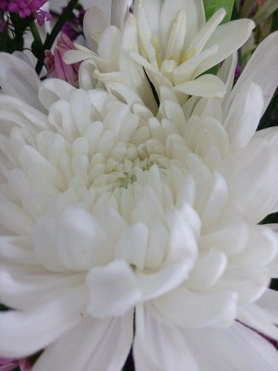 Chrysantheum White  (chrysantheum morifolium)