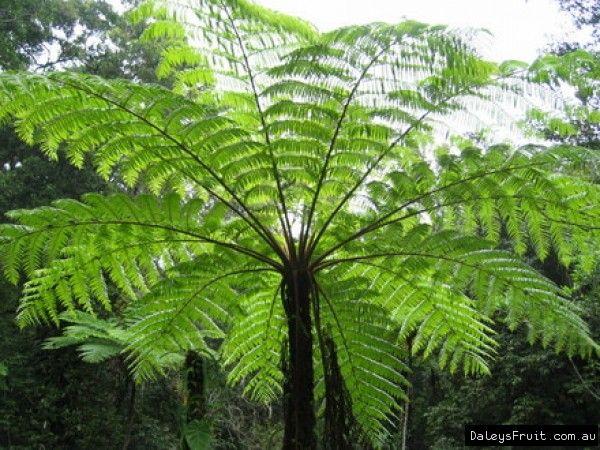 Tree Fern Cyathea cooperi Compliments of the lost world nursery