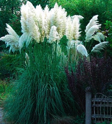 Pampas grass ivory feathers what 39 s blooming pinterest for Landscaping ideas with pampas grass