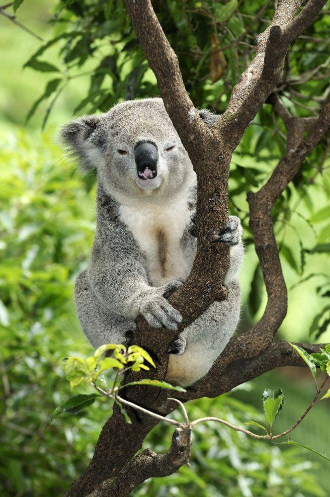 how to find koala in wild australia cairna