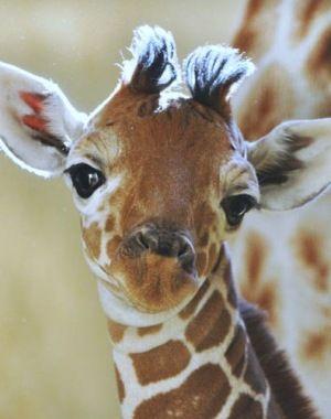 Baby giraffe - Awwwwwwww! =)