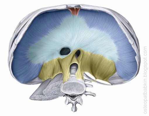 Части диафрагмы. грудинная часть, реберная, поясничная. Сухожильный центр диафрагмы.