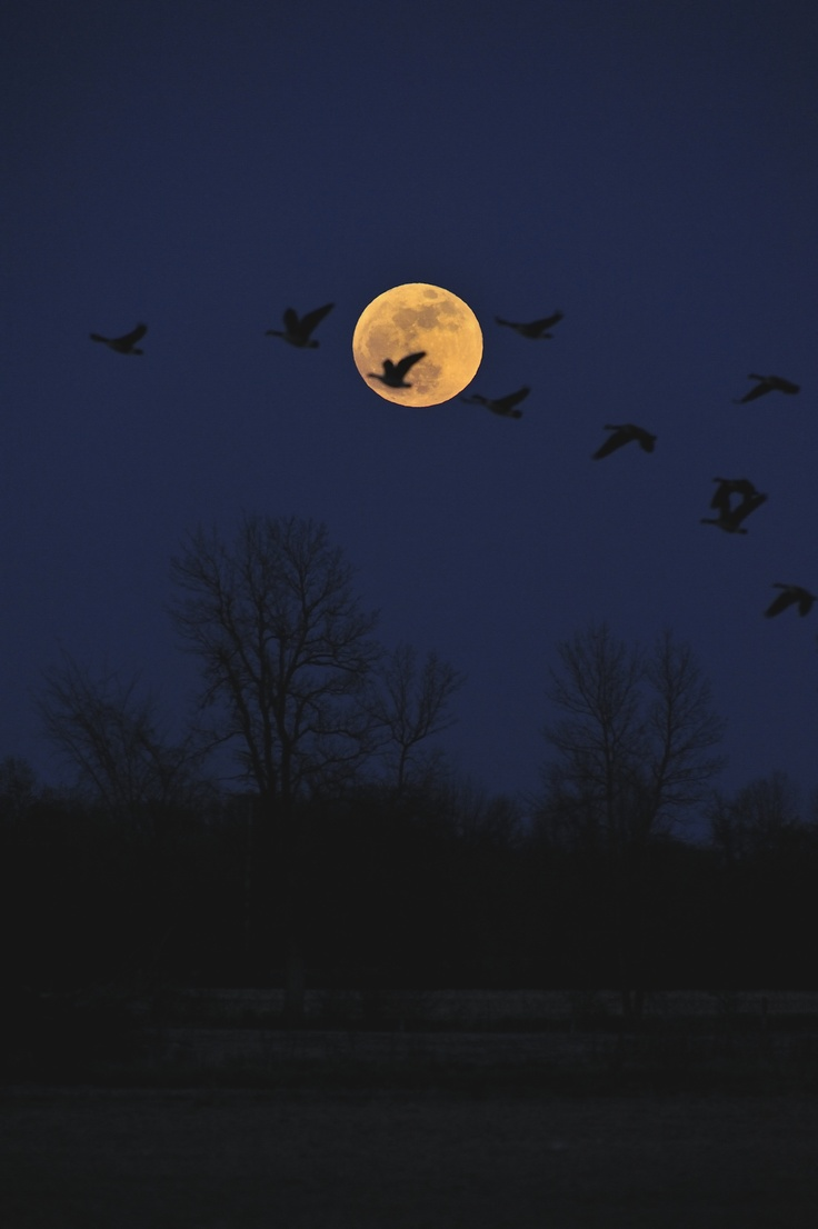 Supermoon With Canada Geese