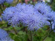 For front of the house outside dining room windows. Ageratum (Blueweed)