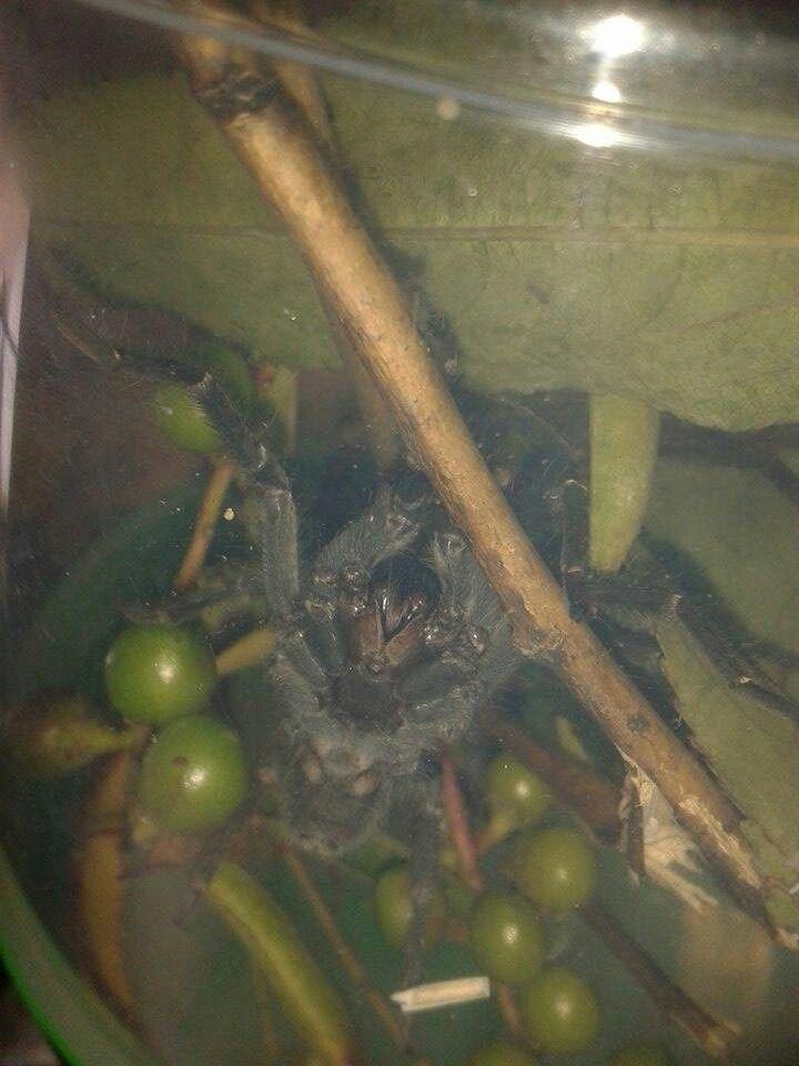 Miren mis lindos colmillos dice Félix Eupalaestrus campestratus