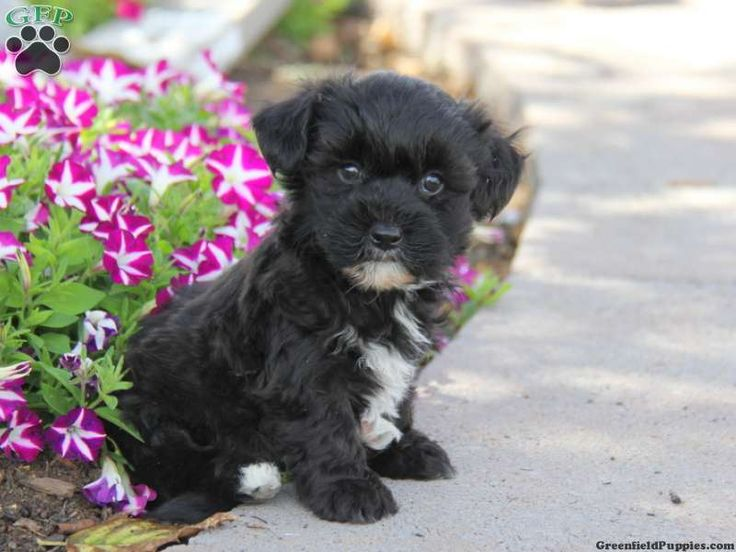 Trisha, Yorkie-Chon puppy for sale from Honey Brook, PA