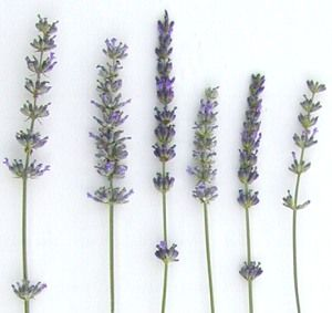 Spring to Fall: Lavenders have it all.  Yes, there is a Lavender blooming almost all the time in our gardens. This is easier to achieve in a Zone 8 garden like ours, but even those in Zone 5 can enjoy the fragrance of Lavender throughout the growing season.